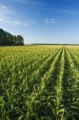 a field of feed/grain corn stretches to the horizon, near Lorette, Manitoba, Canada