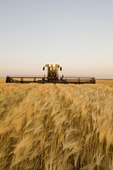 swathing mature harvest ready barley, near Dugald, Manitoba, Canada