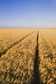 mature harvest ready barley, near Dugald, Manitoba, Canada