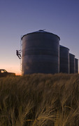 a man checks the fullness of grain bins surrounded by maturing barley near Carey, Manitoba, Canada