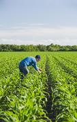 a man scouts a field of early growth  feed/grain corn , near Lorette, Manitoba, Canada
