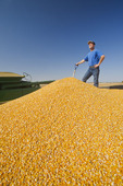 a man in the back of a grain wagon during the grain corn harvest near Niverville, Manitoba, Canada