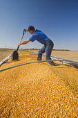 a man levels a load of corn in the back of a grain truck during the grain corn harvest near Niverville, Manitoba, Canada