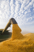 a combine empties into a grain wagon on the go, during the feed/ grain corn harvest, near Niverville, Manitoba, Canada
