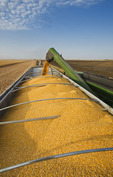 a grain wagon empties into a farm truck, during the feed corn harvest, near Niverville, Manitoba, Canada