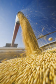 a combine harvester augers soybeans into a farm truck during the harvest, near Lorette, Manitoba, Canada