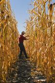 a farmer scouts a field of maturing feed/grain corn, , near Lorette, Manitoba, Canada