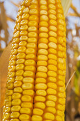 close-up of maturing grain/feed corn; near Lorette; Manitoba; Canada
