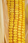 close-up of maturing grain/feed corn; near Lorette; Manitoba; Canada