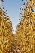 mature soybean field, near Lorette, Manitoba, Canada