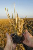 close-up og wheat stubble, near Lorette, Manitoba, Canada