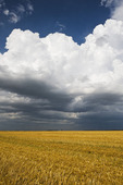 harvested oat field with a cumulonimbus cloud buildup in the background, near Dugald, Manitoba, Canada