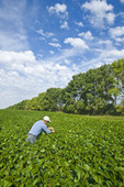 a man checks a soybean field, shelterbelt in the background,  near Niverville , Manitoba, Canada