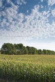 grain corn field with shelterbelt in the background,  near Niverville , Manitoba, Canada