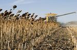 sunflower harvest, near Lorette, Manitoba, Canada