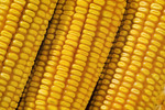 close-up of mature grain/feed corn
