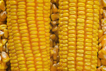 close-up of mature grain/feed corn and harvested kernels