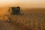 grain corn harvest near Niverville, Manitoba, Canada