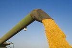 a combine empties into a grain wagon on the go, during the feed corn harvest, near Niverville, Manitoba, Canada