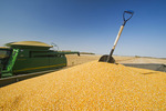grain corn in the back of a grain wagon during the harvest near Niverville, Manitoba, Canada