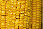 close-up of grain/feed corn
