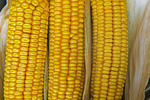 close-up of grain/feed corn