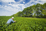 a man checks a soybean field with shelterbelt in the background,  near Niverville , Manitoba, Canada