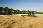 a combine harvester works in a canola field next to a shelter belt, near Niverville, Manitoba