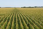 a field of feed/grain corn stretches to the horizon, near Dugald, Manitoba, Canada