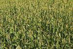 a field of feed/grain corn, near Dugald, Manitoba, Canada