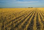 wheat stubble in a field, near Lorette, Manitoba ,Canada