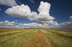 swathed, harvest ready canola with developing cumulonimbus cloud in the background, Manitoba, Canada