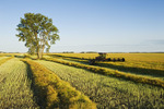 swathing canola, cottonwood tree in the distance,  near Lorette, Manitoba, Canada