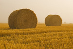 wheat straw round bales and stubble field on a foggy morning, near Lorette, Manitoba ,Canada