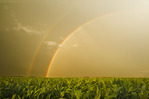 a field of feed/grain corn and a sky with a rainbow in the background, near Landmark, Manitoba, Canada