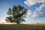 tree and a field of mature wheat, near Bruxelles, Manitoba, Canada