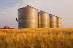 a man checks the fullness of grain bins surrounded by maturing barley near Carey, Manitoba, Canada