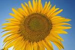 sunflower field, Manitoba, Canada