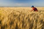 a man in a maturing barley field, near Carey, Manitoba, Canada