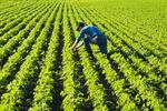 man in a early growth soybean field, near Lorette, Manitoba, Canada