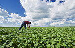 a farmer scouts a mid growth canola field near Dugald, Manitoba, Canada