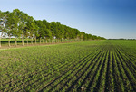 soybean field with shelterbelt in the background,  near Niverville , Manitoba, Canada