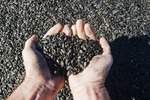close-up of hand holding harvested black oil sunflower seeds ,near Lorette, Manitoba, Canada