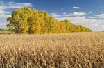 shelterbelt in mature grain corn field, near Niverville , Manitoba, Canada