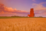 maturing spring wheat field with grain elevator in the background, Carey, Manitoba, Canada