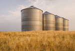 maturing barley field with grain bins in the background, near Carey, Manitoba, Canada