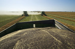 combines harvester work in a field during the canola harvest, near Dugald, Manitoba, Canada
