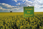 themes in agriculture-bloom stage canola field  with biofuel sign,  near Holland, Manitoba, Canada