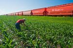 a farmer examines early growth corn next torail hopper cars carrying potash, near Carman, Manitoba, Canada