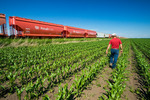 a farmer examines early growth corn next torail hopper cars carrying potash, near Carman, Manitoba, Canada